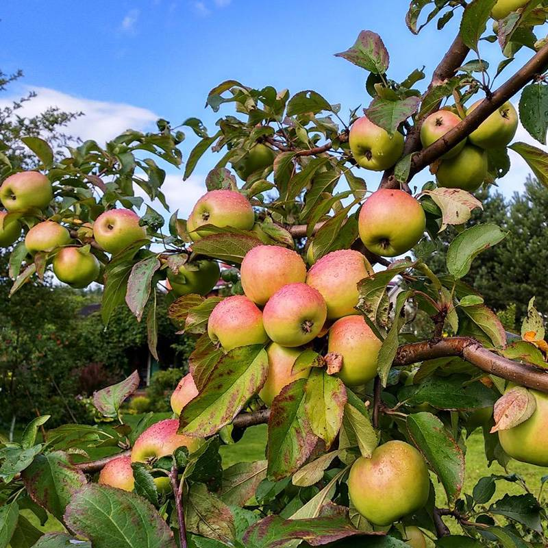 Яблоня чудное описание фото отзывы - дневник садовода gossort68.su