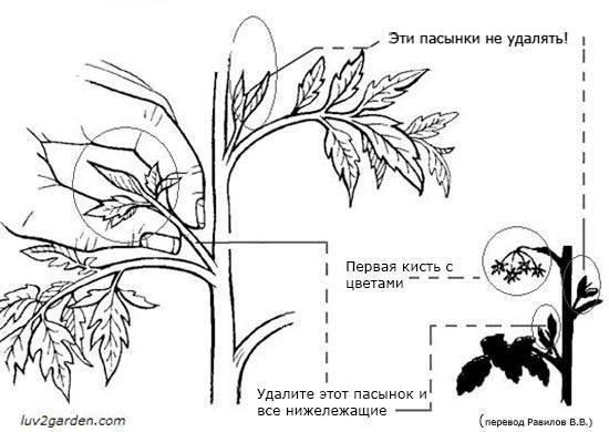 Пасынкование помидоров в теплице пошагово: новичкам и опытным