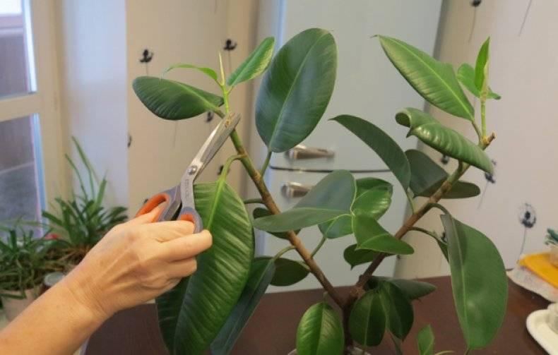 Каким методом размножить фикус в домашних условиях