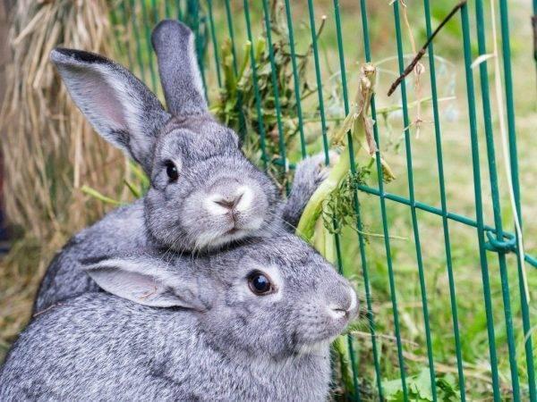 Особенности кролика породы полтавское серебро