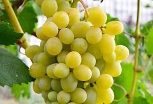 Виноград велес: описание, характеритики, особенности выращивания