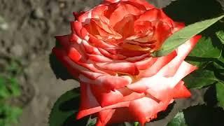 Роза императрица фарах (imperatrice farah): описание сорта, посадка и уход