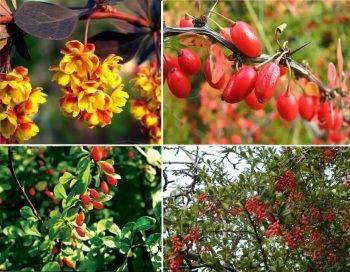 Размножение барбариса: как в домашних условиях размножить красный и другой кустарник? как укоренить отводки? как рассадить куст делением?