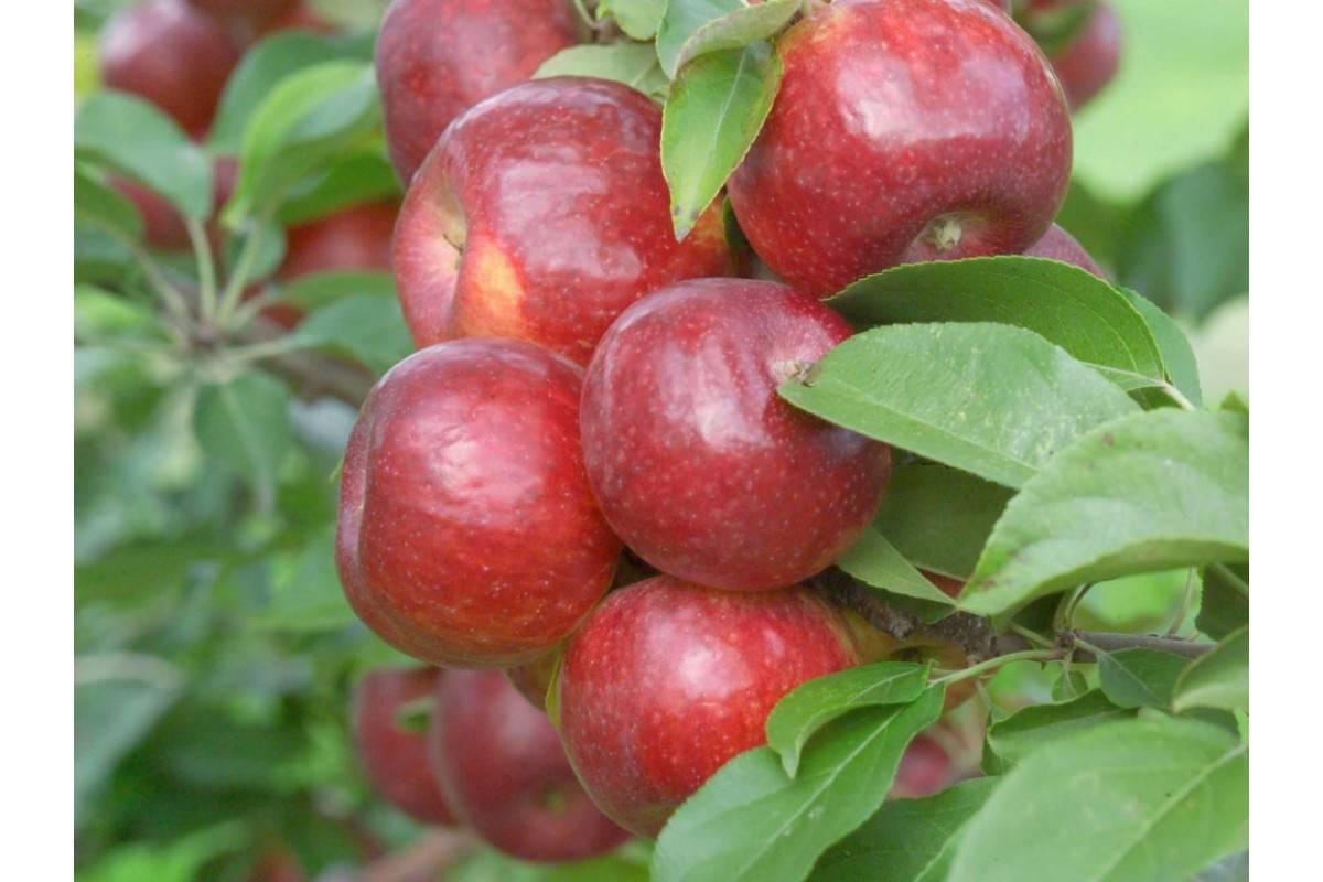 Любимый и популярный сорт яблок заветный