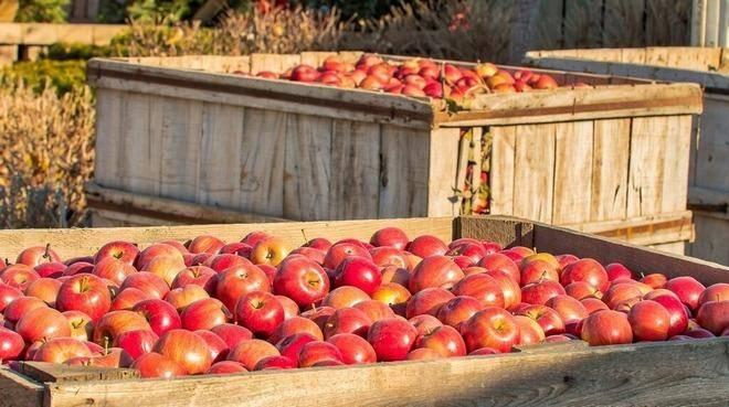 Сорт яблони «ветеран»: характеристика, плюсы и минусы, советы по выращиванию