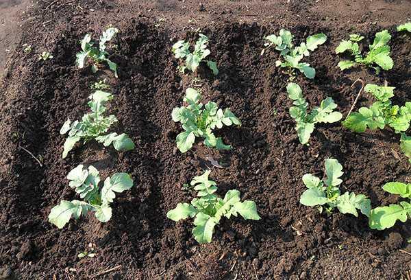 Когда сажать редьку: можно ли сеять в открытый грунт семенами, в какое время выполняют в сибири, на урале, в подмосковье и каковы сроки всхода сорта «майский»? русский фермер