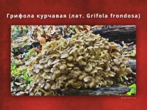 Грифола курчавая (гриб баран) - фото, описание, лечебные свойства