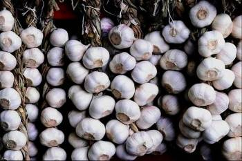 Выращиваем чеснок на продажу (март 2021) — vipidei.com
