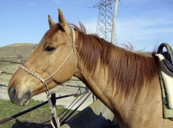 Каурая лошадь: описание масти, расцветка, фото