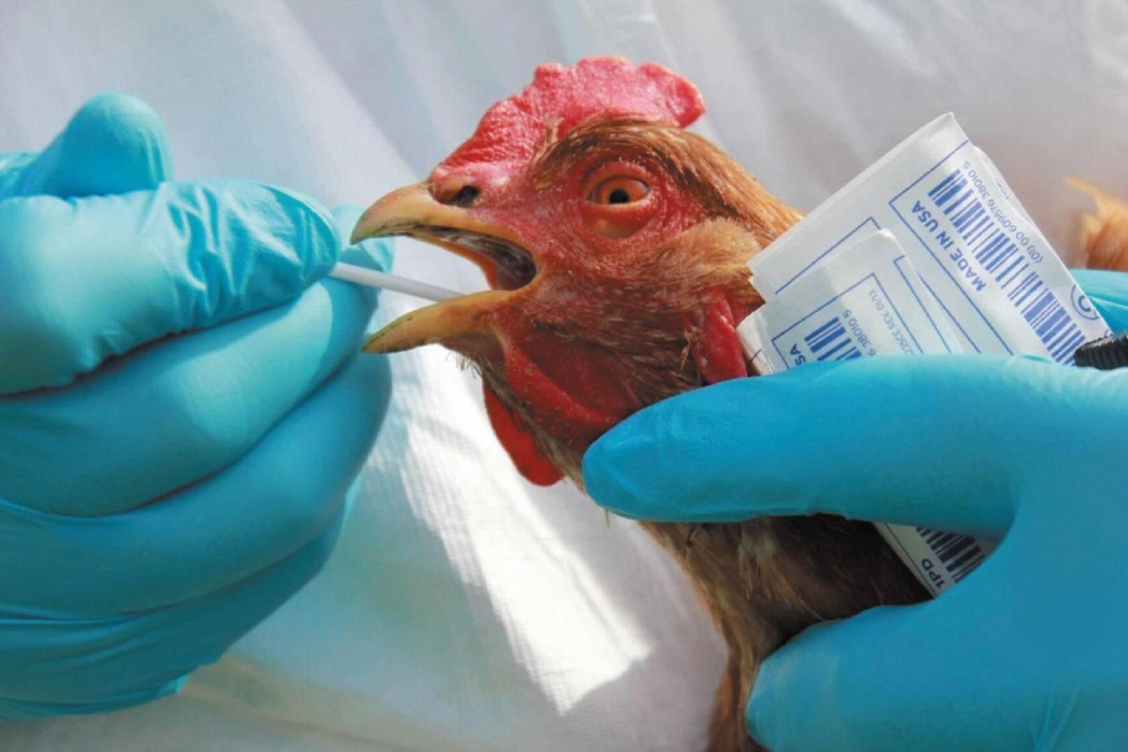 Птичий грипп у кур: симптомы и лечение, признаки и проявления с фото