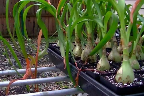 Китайский лук, выращивание в домашних условиях - da4nikpro