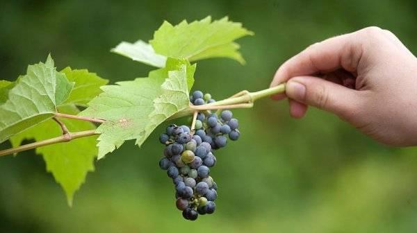 Укрытие винограда на зиму: лучшие способы