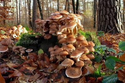 Как выглядят опята и какие виды растут в наших лесах - грибы собираем