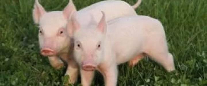 Кровяная диарея (дизентерия свиней): повторно возникающее дорогостоящеезаболевание, которое можно предотвратить