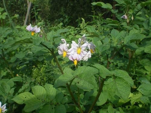8 причин почему не цветет картофель. | красивый дом и сад