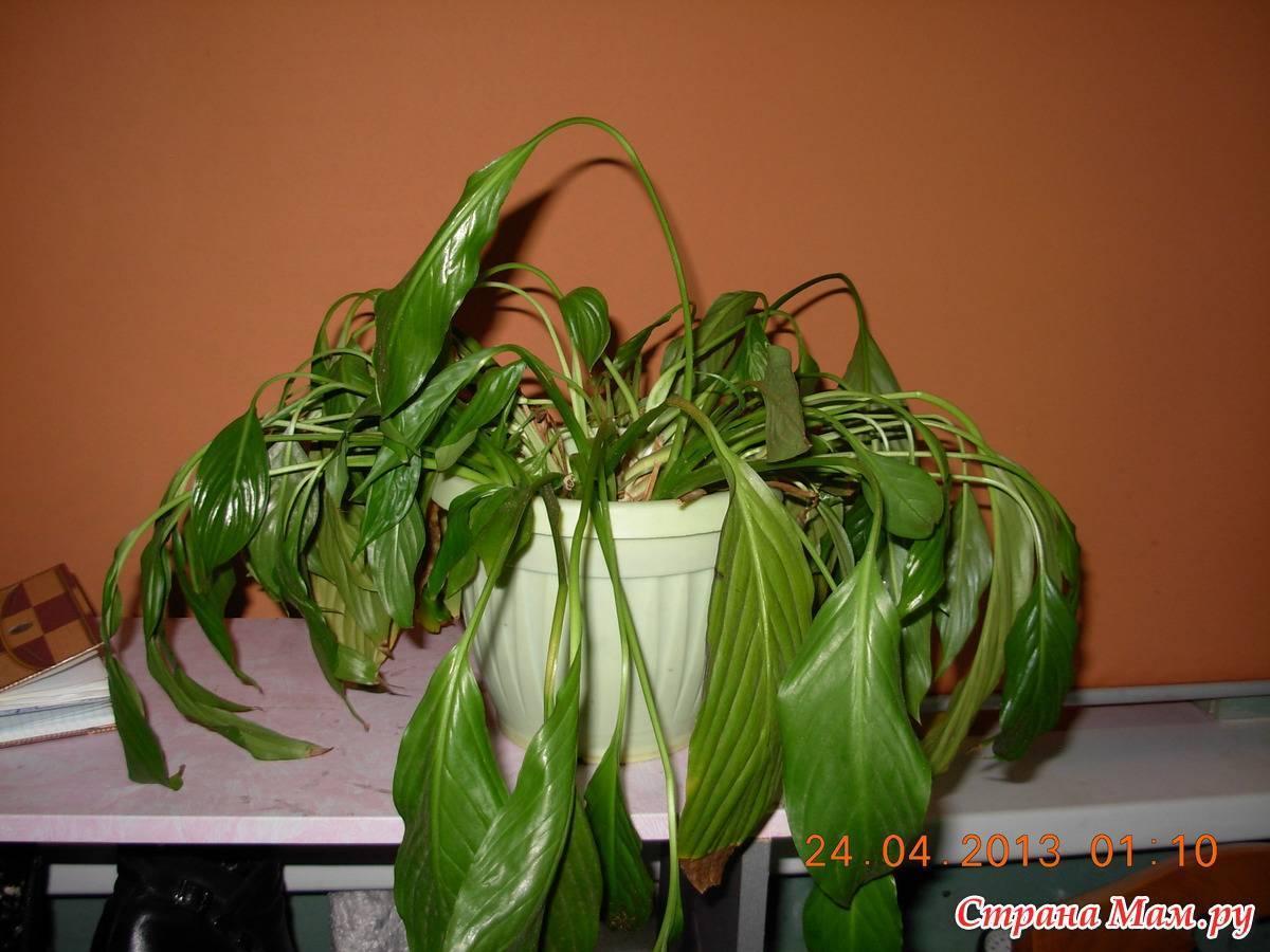 Почему не раскрываются листья у спатифиллума. почему не цветет спатифиллум? трудности, которые могут возникнуть при выращивании