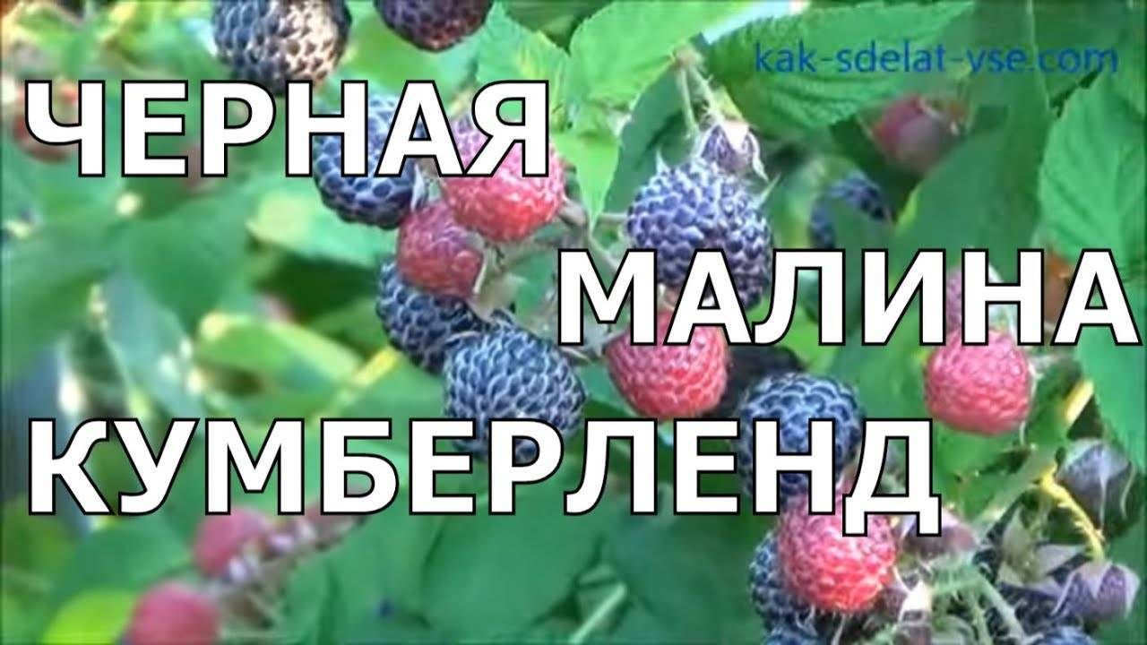 Полезные свойства и технология выращивания черной малины