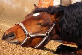 Лечение копытной гнили у коров, крс, овец, коз, лошадей, свиней, поросят и других копытных животных