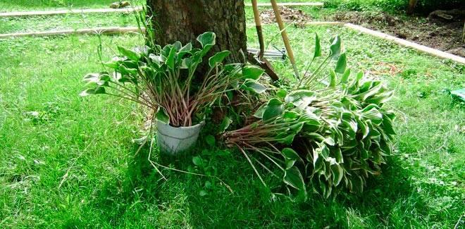 Размножение хосты (19 фото): как размножить хосту листьями? как рассадить растение летом? когда можно размножать черенкованием? правильный уход после посадки