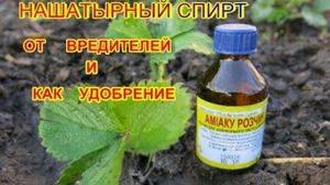 Нашатырный спирт для рассады томатов | огородовед