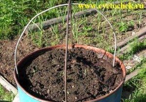 Огурцы в бочке: выращивание, пошагово фото, куда ставить, уход, отзывы
