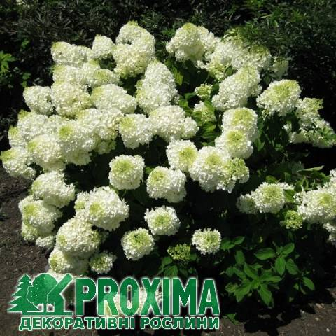 Гортензия метельчатая фантом hydrangea paniculata «phantom»