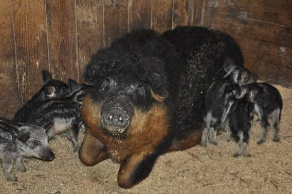 Венгерская мангалица: описание породы свиней