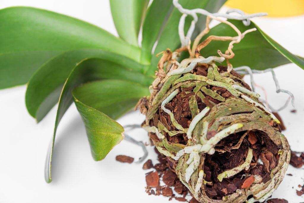 У орхидеи сгнили все корни: что делать и как спасти, если растение погибает, инструкция