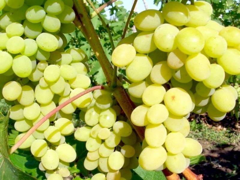 «гала» — гибридная форма винограда