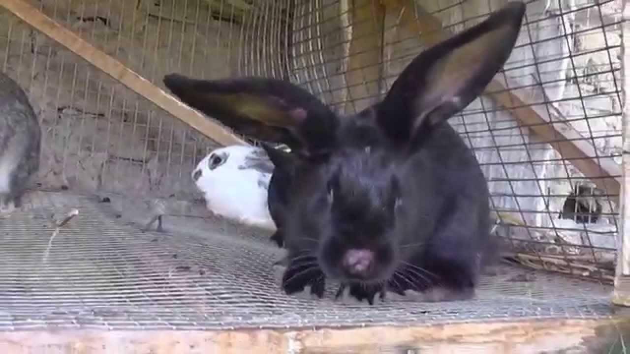 Вакцинация кролика от миксоматоза и вгбк