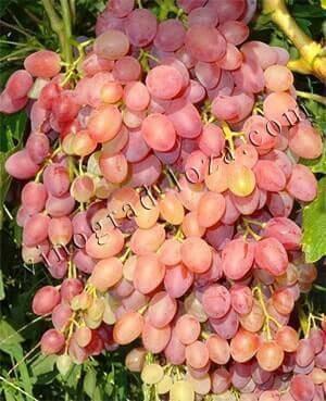 Виноград кишмиш аксайский: что нужно знать о нем, описание сорта, отзывы