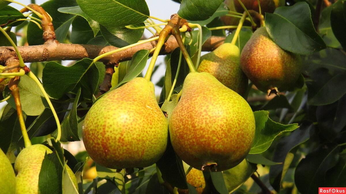 Болезни груши, почему не плодоносит и что делать, что означают оранжевые пятна на листьях, как избавиться от парши, борьба вредителями