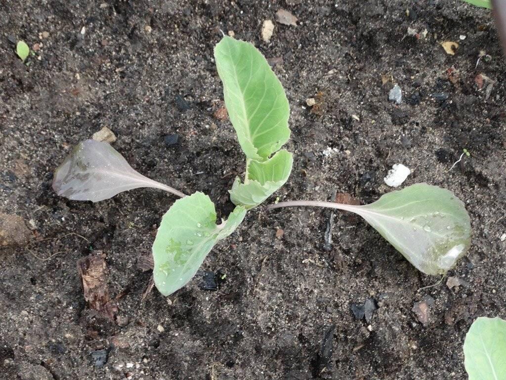 Почему у капусты фиолетовые листья и что делать?