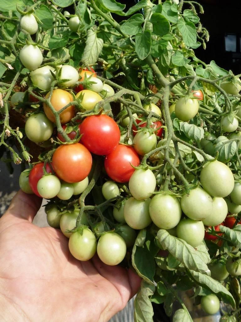 Почему нет завязи на помидорах, причины их отсутствия