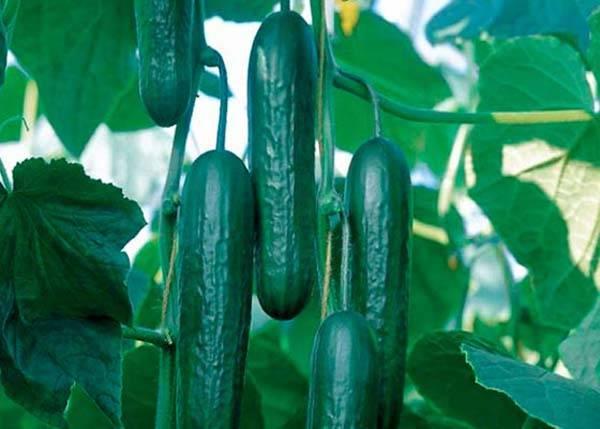 Прекрасно адаптированный к выращиванию в квартире — огурец стелла f1: описание и характеристика