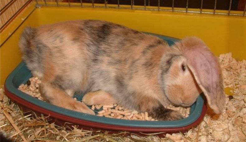 Как кролика приучить к лотку в домашних условиях и что нельзя делать