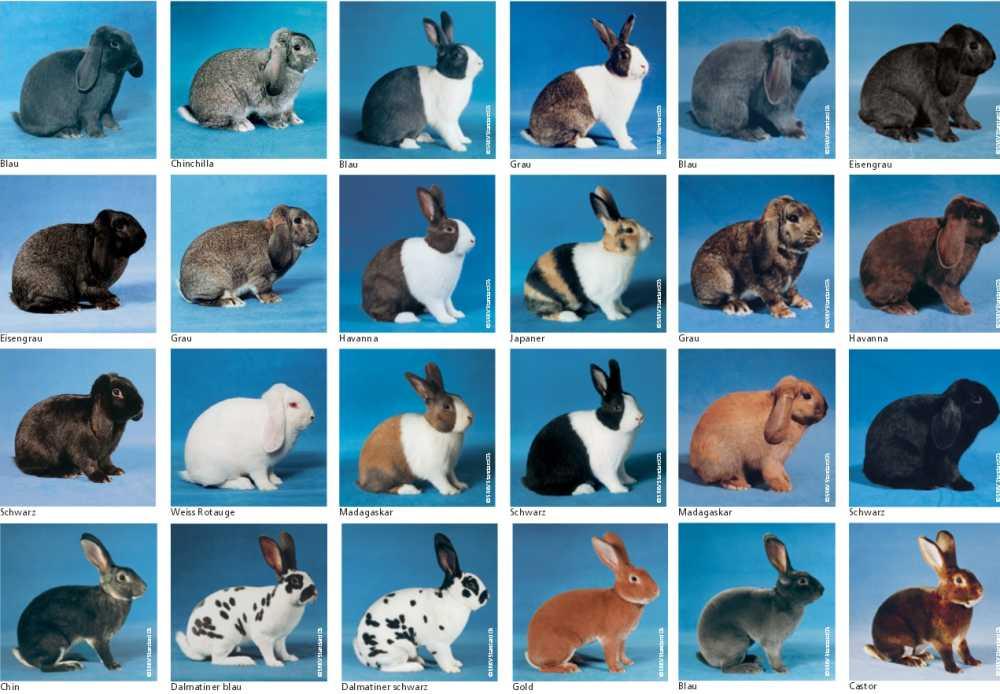 Характеристика кроликов породы Бабочка
