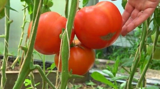 При какой температуре можно высаживать помидоры в теплицу | огородовед
