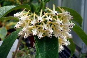 Хойя Линеарис — выращивание экзотической красавицы