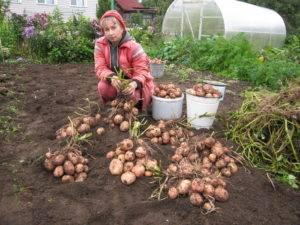 Картофель аврора: характеристика и описание сорта, фото, норма высева семенной картошки, выращивание и уход