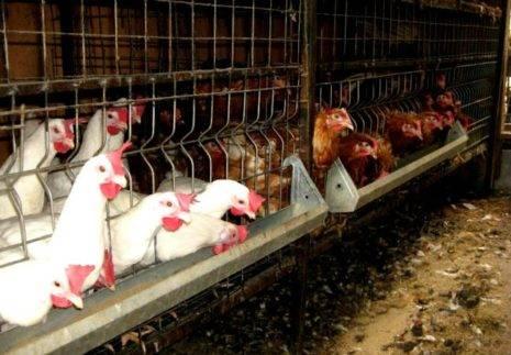 Чем можно кормить кур в домашних условиях