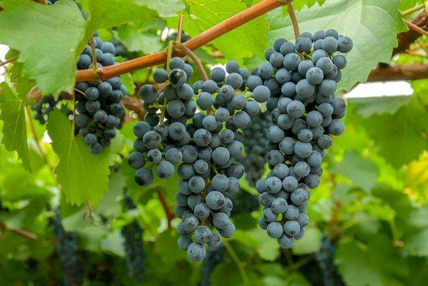 Виноград в сибири - посадка и уход для начинающих, выращивание в открытом грунте, как ухаживать весной