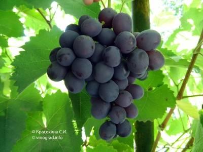 "Все особенности столового сорта винограда ""низина2"""