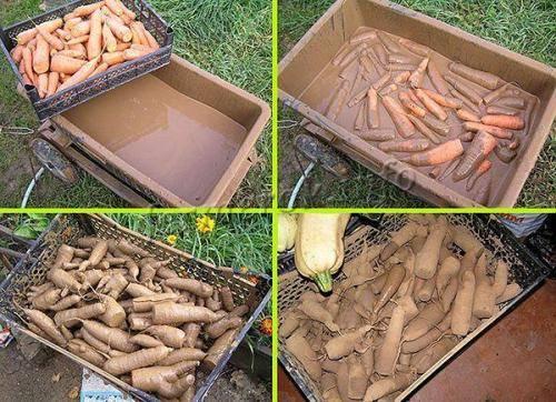 Хранение моркови на зиму в домашних условиях: в подвале, в холодильнике, в пакетах, в погребе (фото)