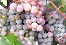 Розовые (красные) сорта винограда в украине: описание, фото, купить саженцы - vinograd-loza
