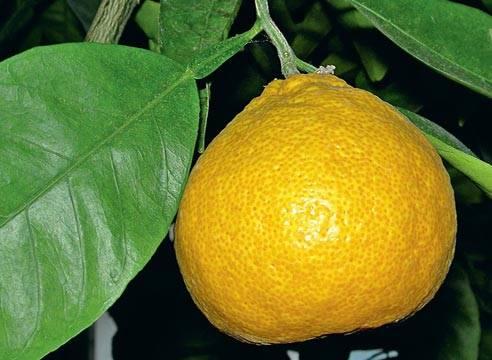 Как вырастить апельсин из косточки в домашних условиях, фото, посадка и уход