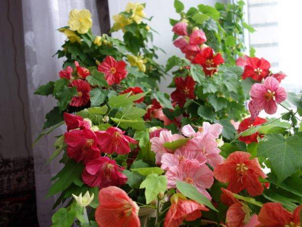 Названия комнатных цветов цветущих круглый год: вечно цветущие и долго цветущие