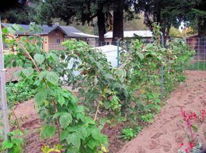 Ремонтантная малина: посадка и уход за растением