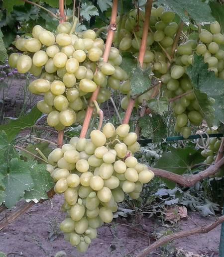 Описание сорта винограда софия: фото и отзывы | vinograd-loza