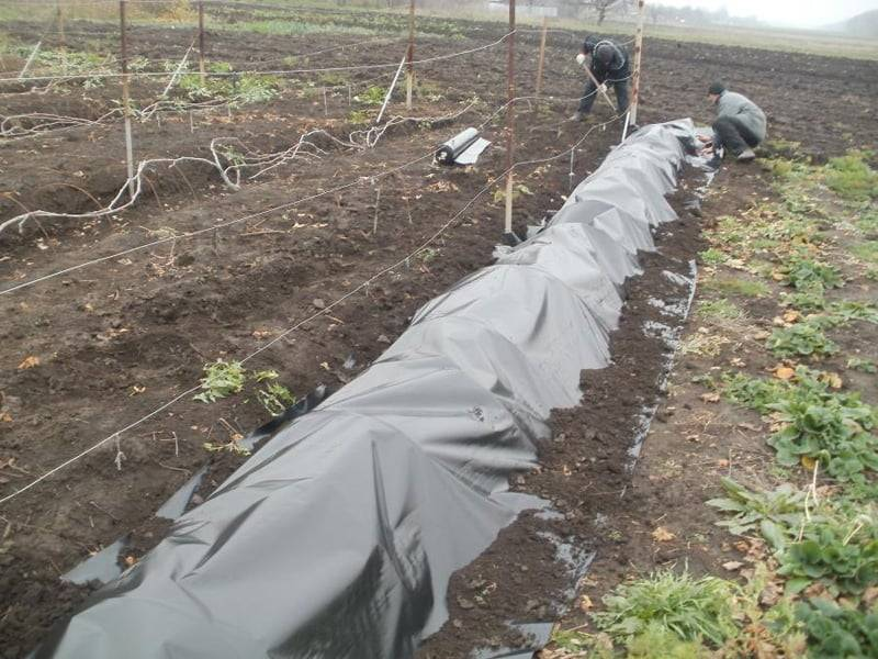 Укрытие и утепление винограда на зиму: инструкция + видео + фото